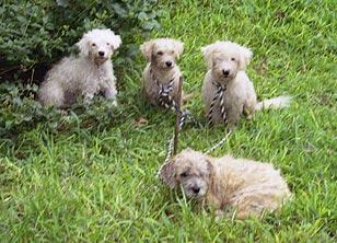 adonai's dogs